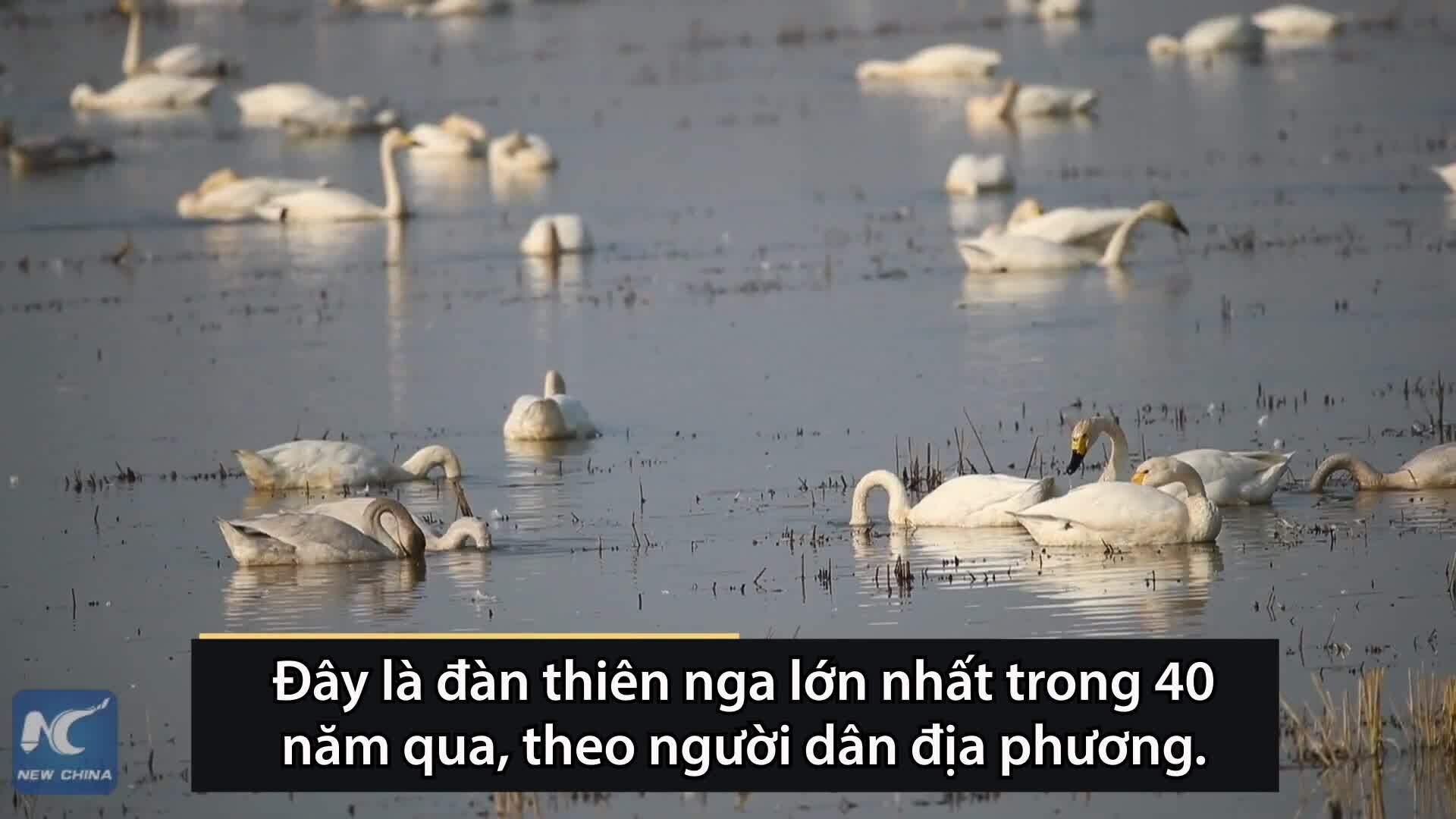 Hàng nghìn thiên nga đổ về hồ Động Đình