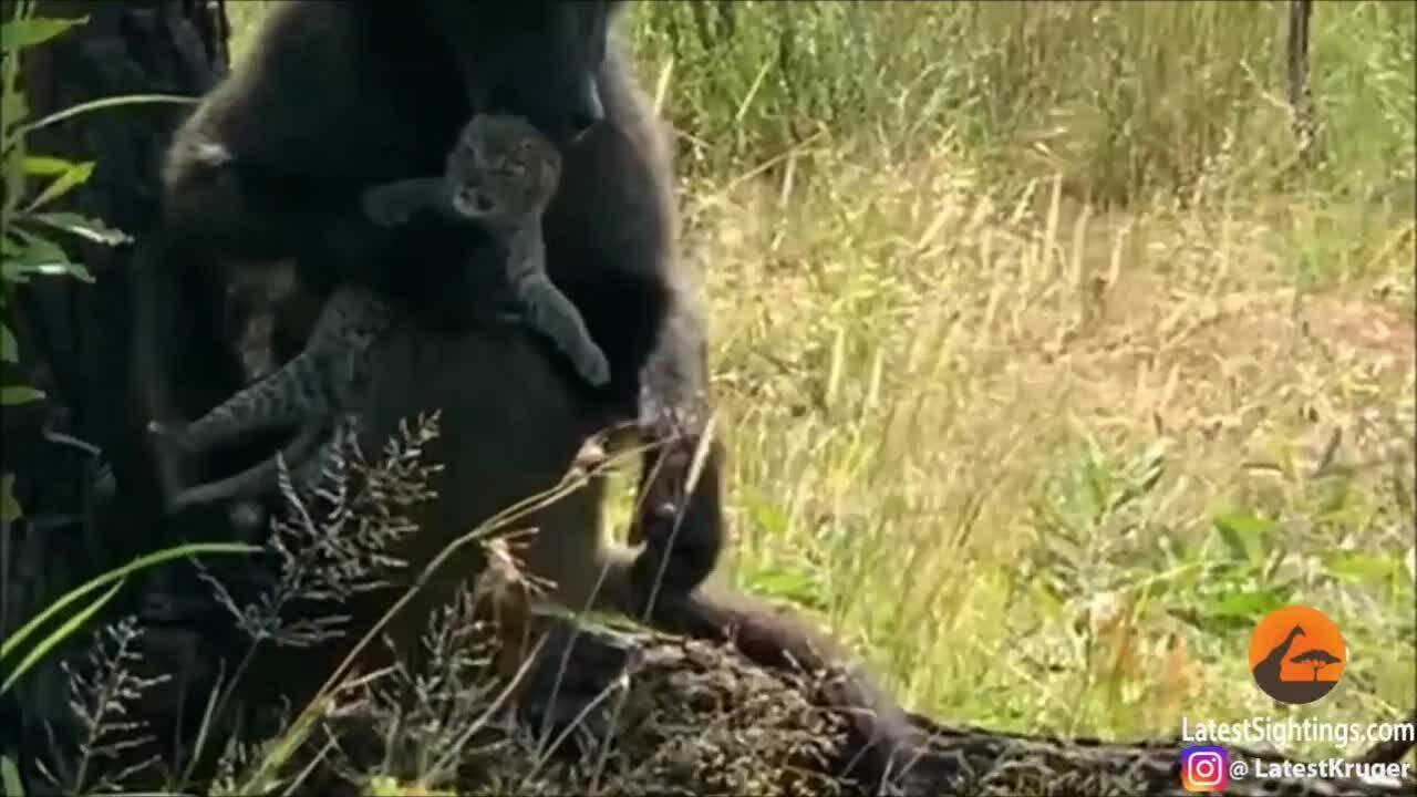Khỉ đầu chó 'bắt cóc' báo hoa mai con