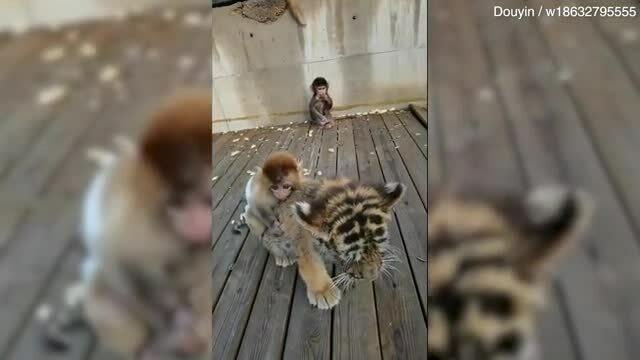 Khỉ đè đầu cưỡi cổ hổ con