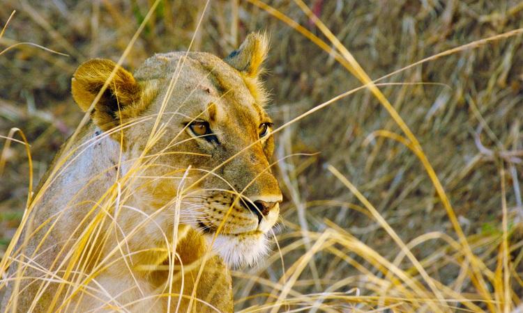 Hươu cao cổ phá hỏng cuộc săn của sư tử