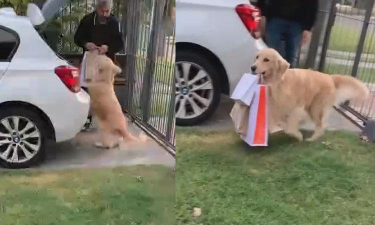 Chó cưng xách đồ cho ông chủ