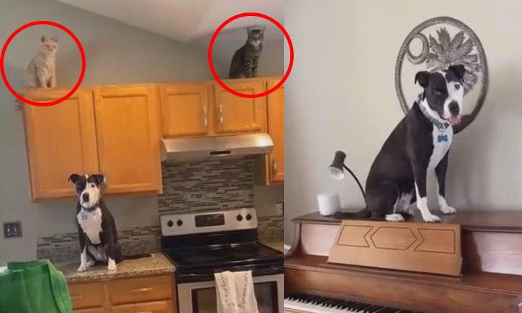 Chó Pit bull tưởng bản thân là mèo