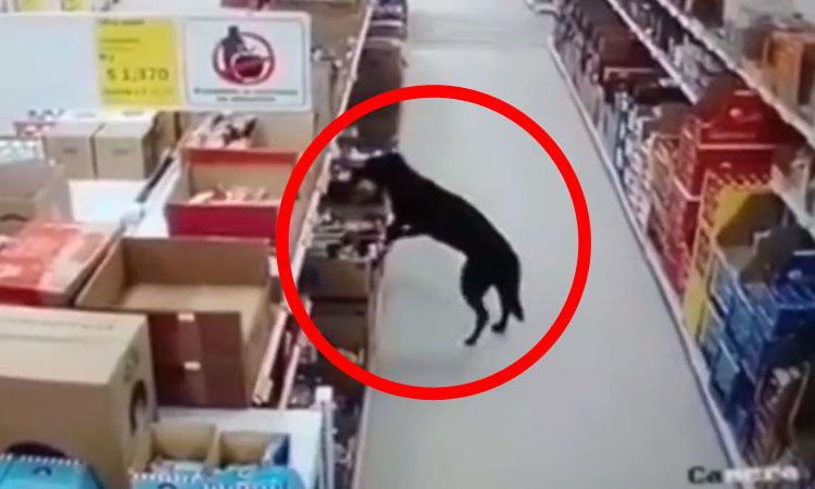 Chú chó vào siêu thị trộm thức ăn
