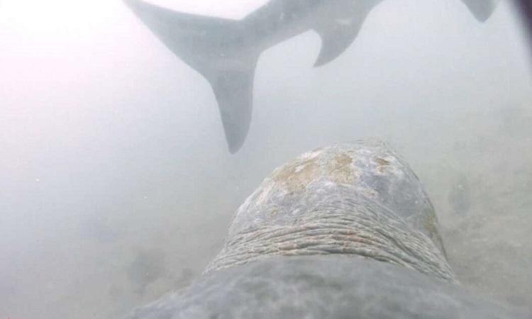 Rùa tấn công khiến cá mập bỏ săn mồi