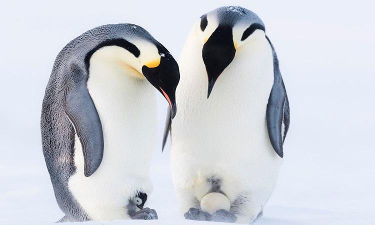 Chim cánh cụt cái tranh giành chim non mồ côi