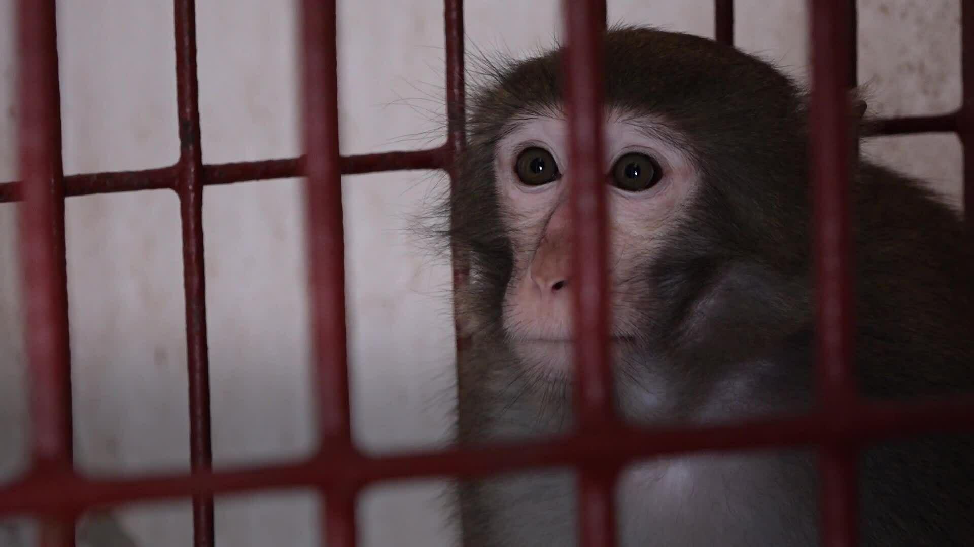 Công ty thử nghiệm tiêm vaccine Covid-19 trên khỉ vàng