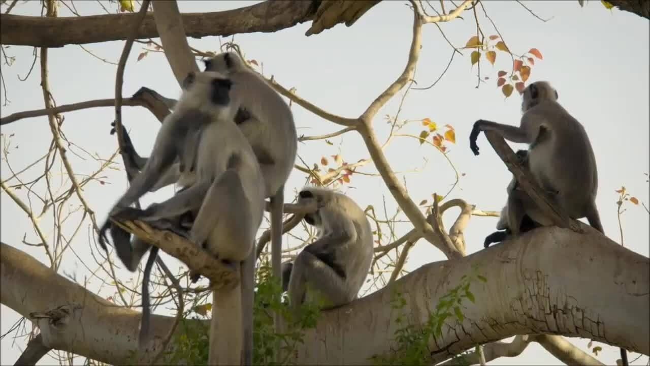 Đàn khỉ 100 thành viên chỉ có một con đực trưởng thành