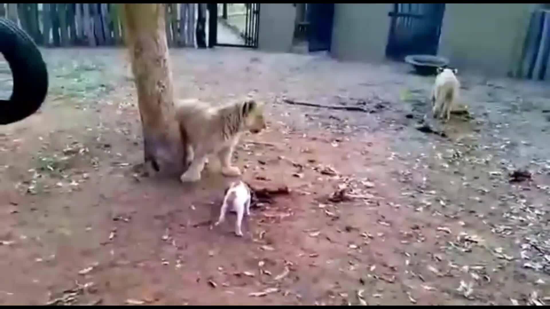 Cún con đuổi ba sư tử, độc chiếm bữa ăn