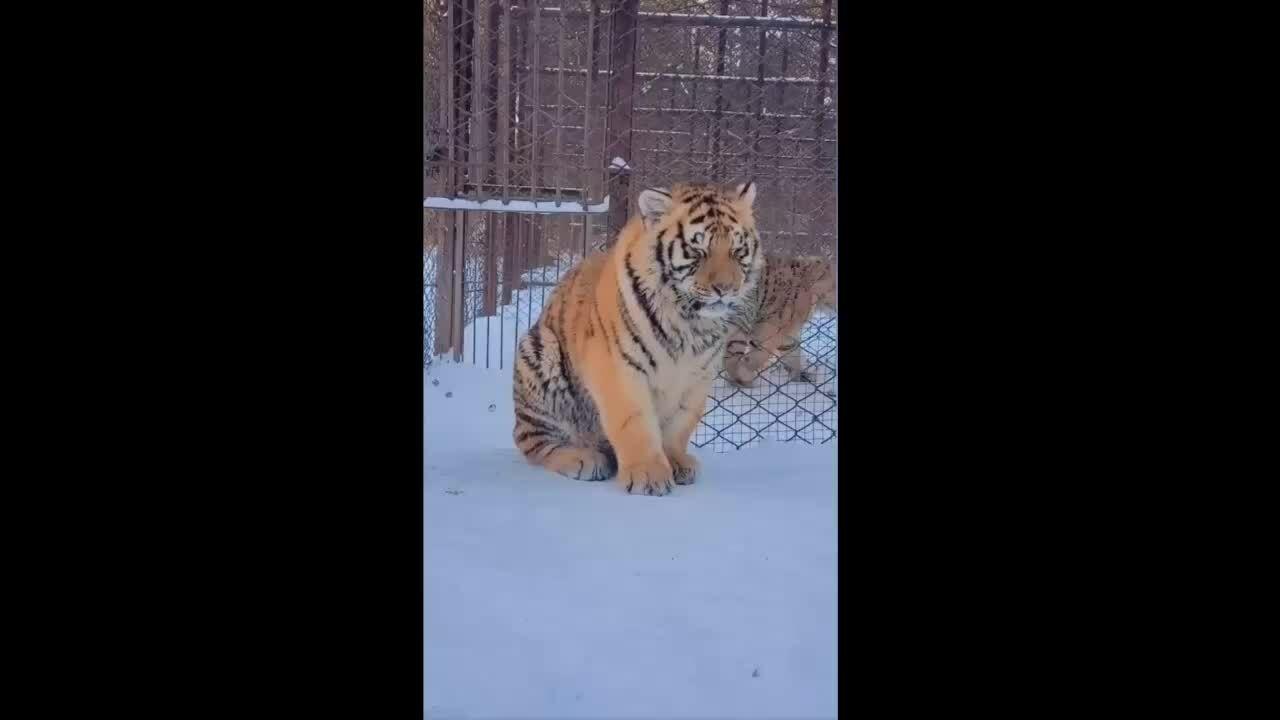 Hổ con tủi thân vì không ai chơi cùng