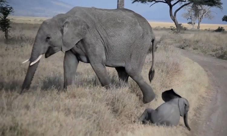 Voi mẹ cao tay xử lý voi con 'ăn vạ'