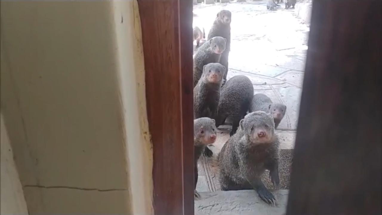 Đàn cầy mangut mò vào nhà dân xin thức ăn