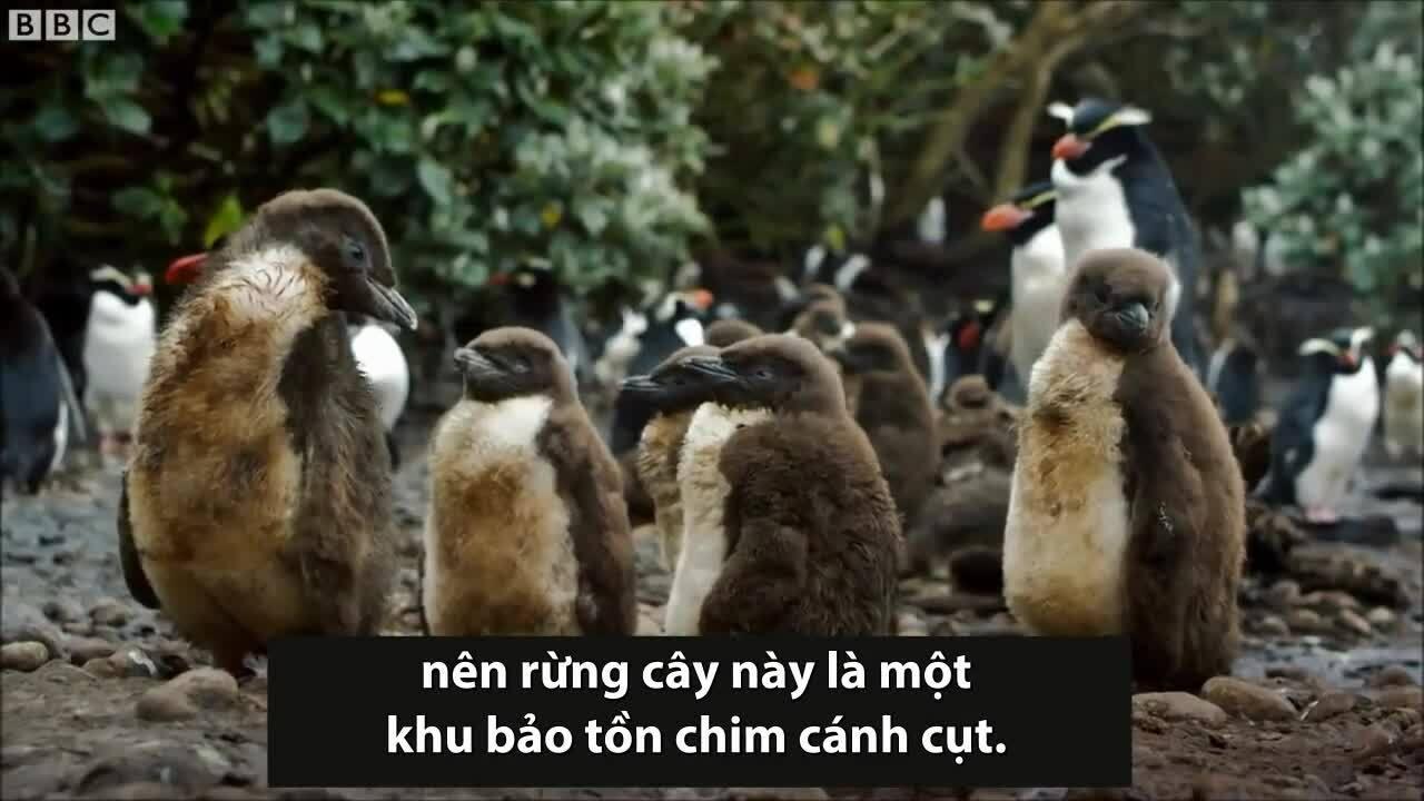 Loài chim cánh cụt sống trong rừng tắm 3 tiếng mỗi ngày