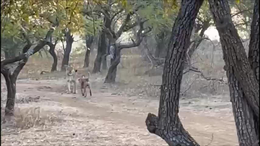 Chó hoang đụng độ sư tử châu Á trong rừng