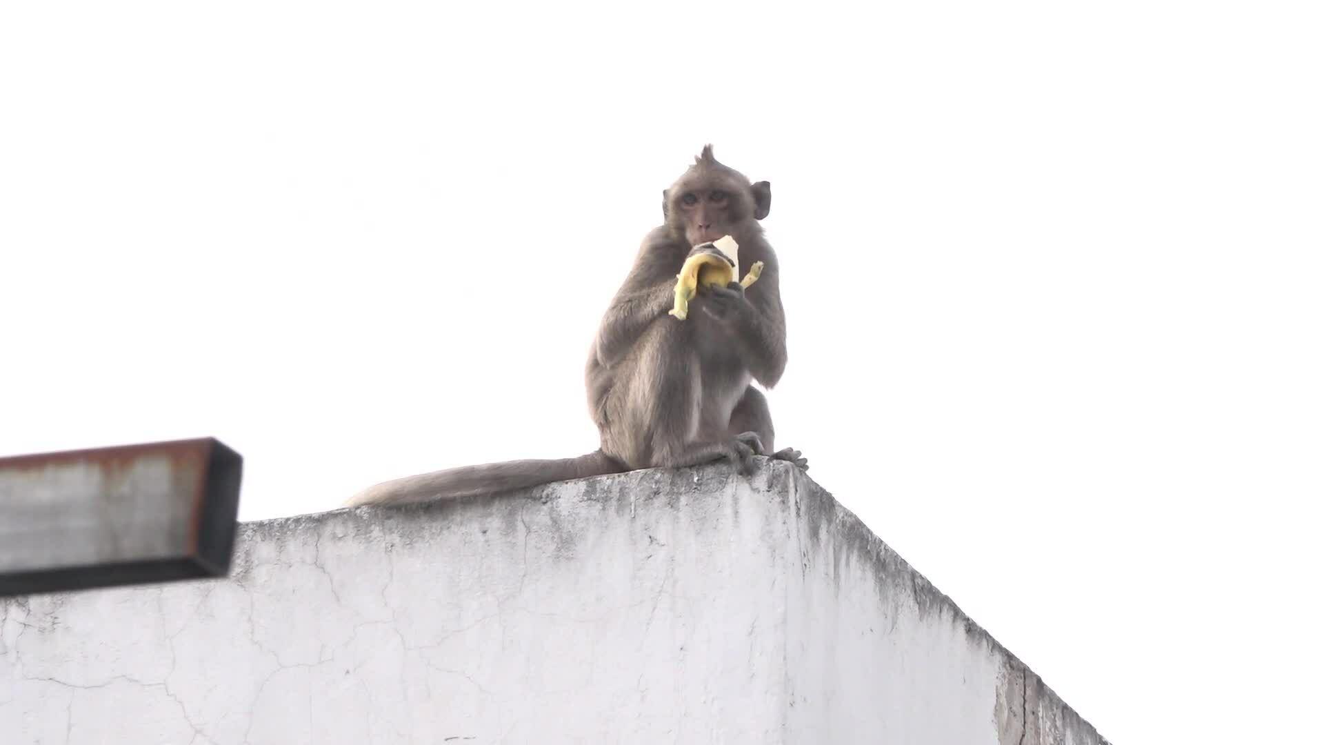 Đàn khỉ quận 12
