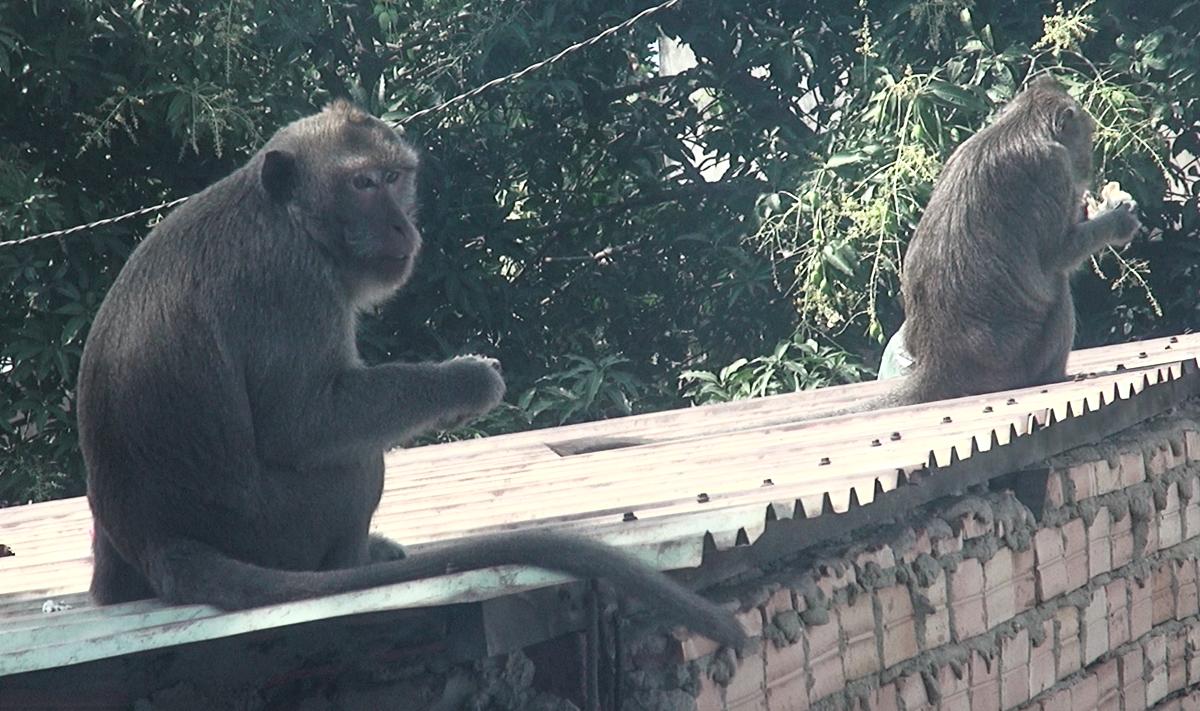 Lên phương án di dời đàn khỉ trong khu dân cư Sài Gòn