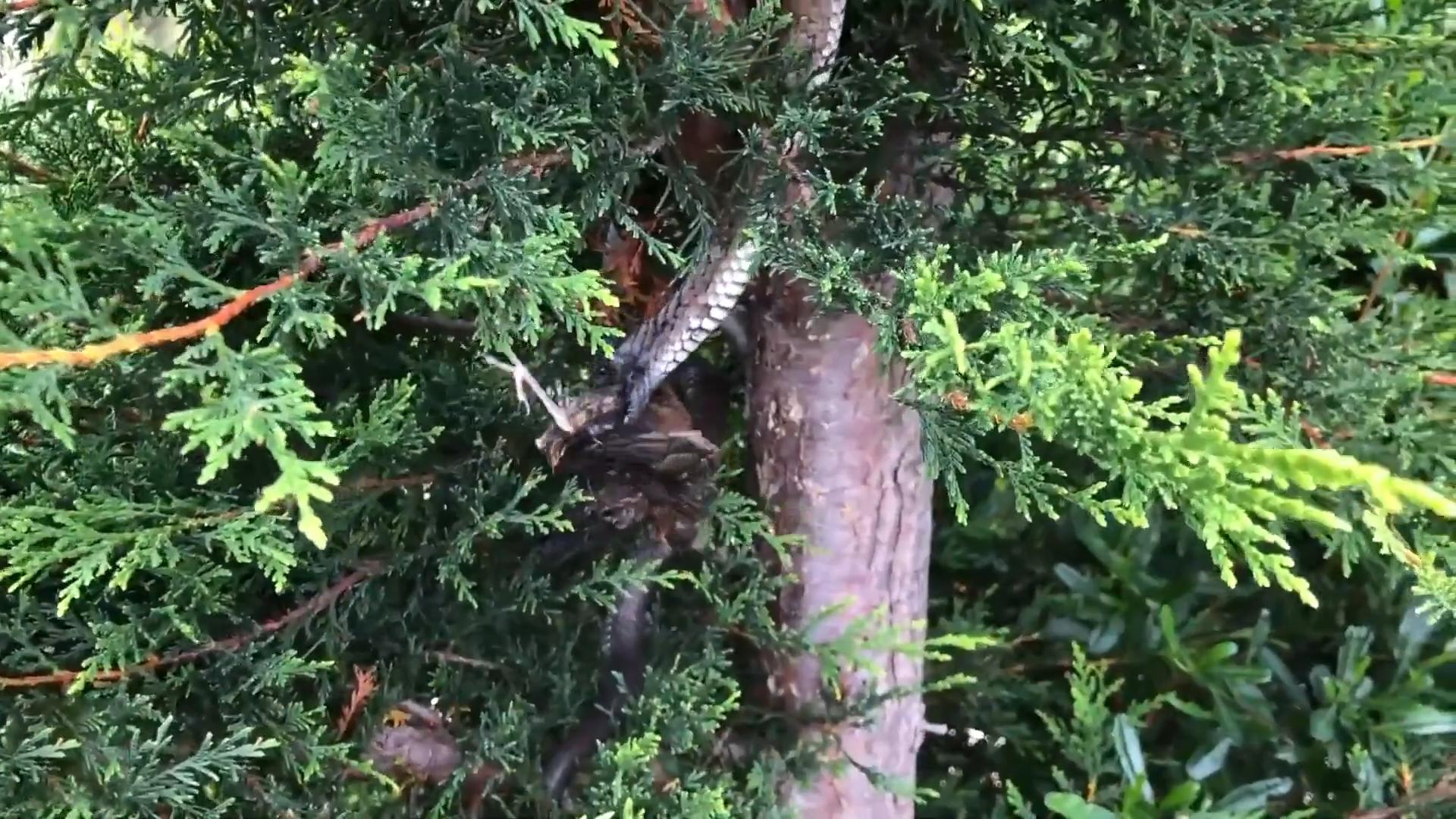 Rắn hổ treo mình trên cây bắt chim