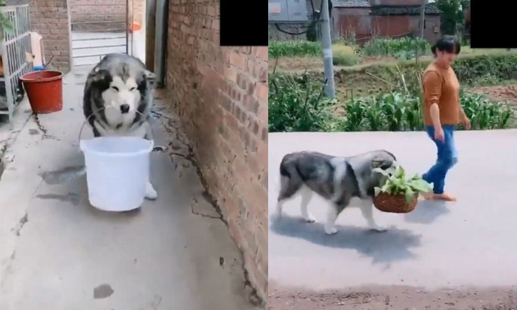 Chó cưng phụ bà chủ lấy nước, xách rau