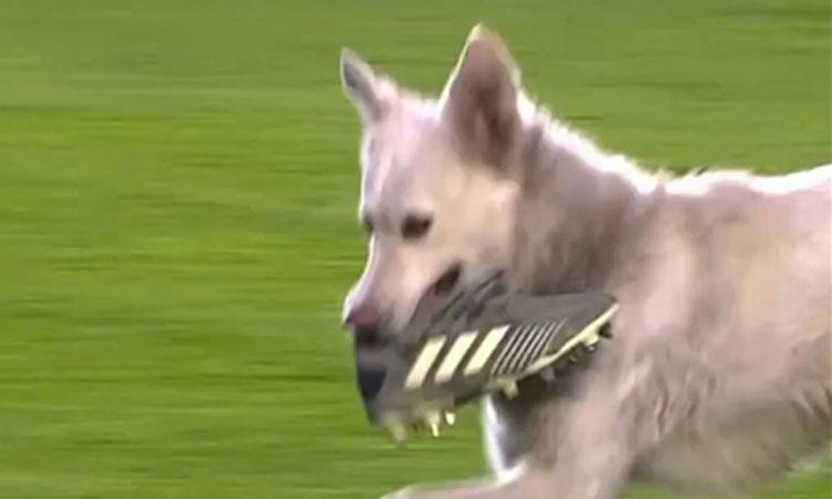 Dừng trận đấu vì chó cưng 'xỏ giày' ra sân
