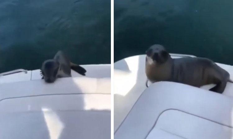 Hải cẩu nhảy lên thuyền làm quen du khách
