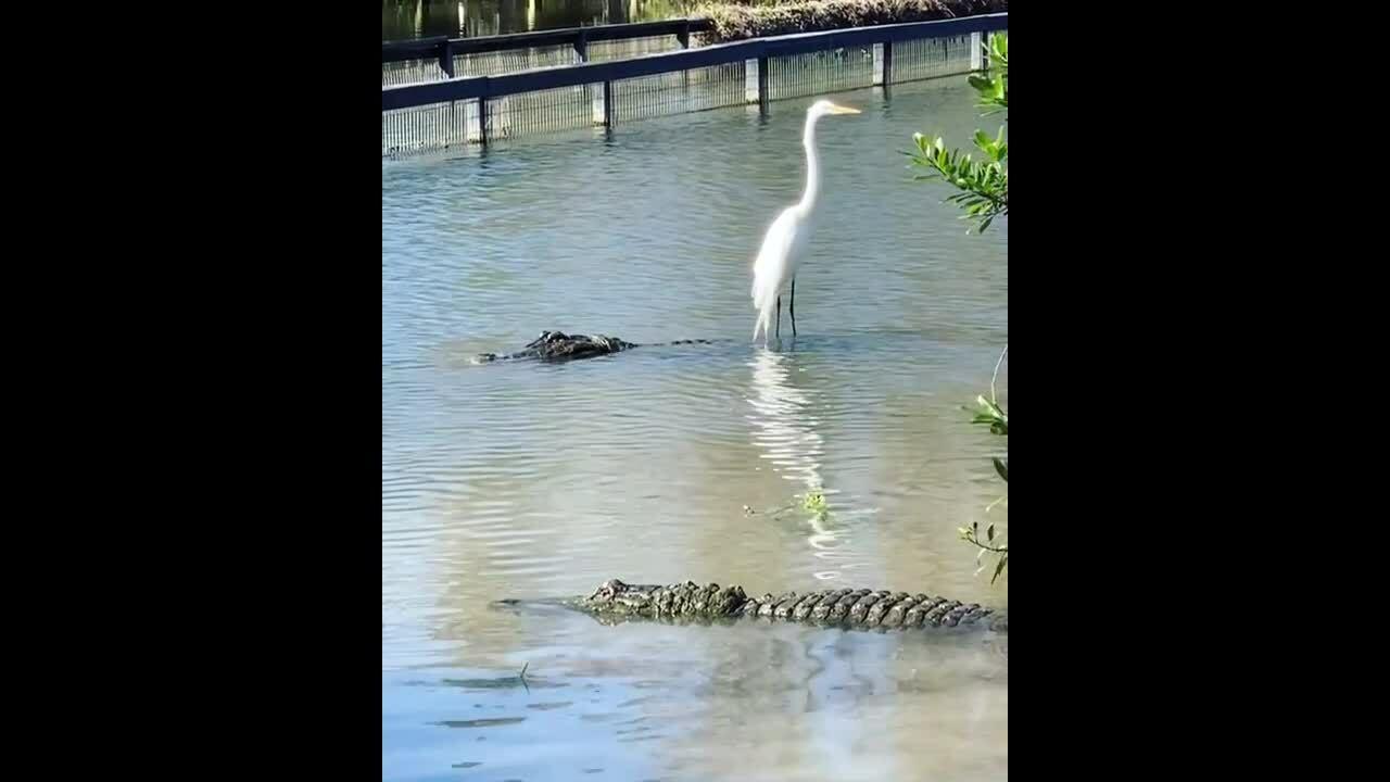 Chim diệc 'cưỡi' cá sấu 40 tuổi