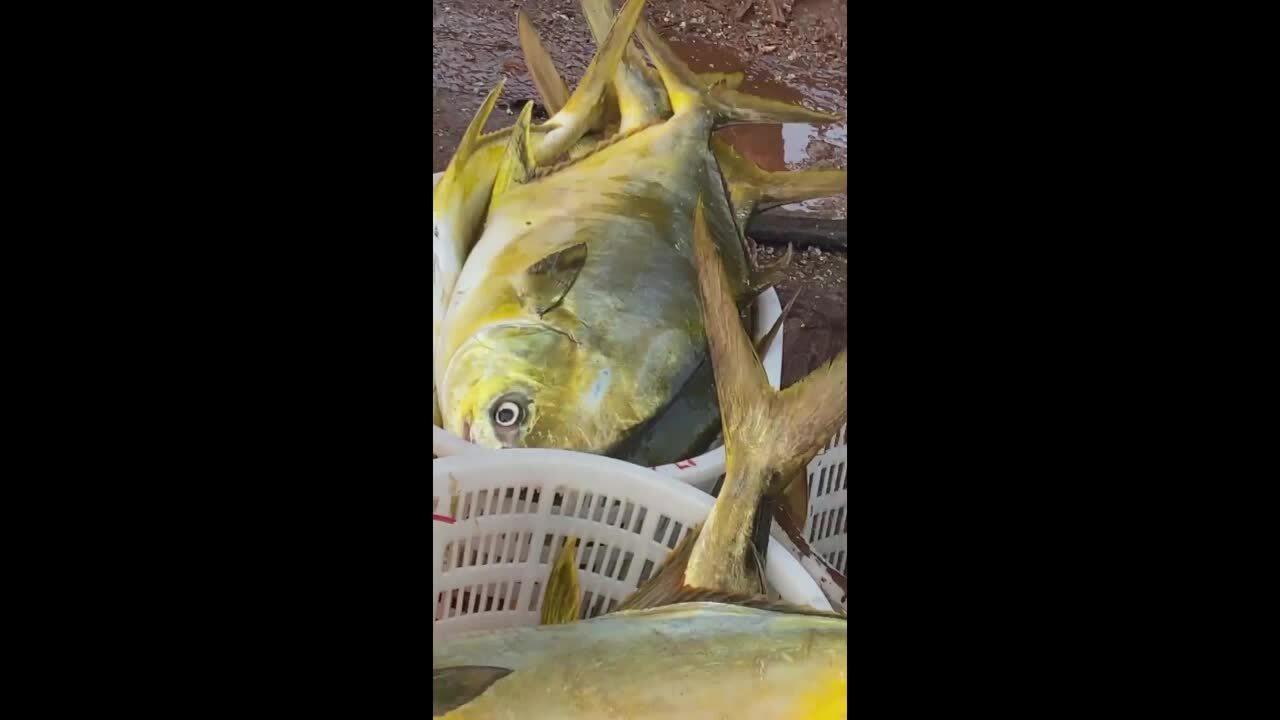 Ngư dân Hà Tĩnh trúng mẻ cá chim vàng trị giá 600 triệu đồng