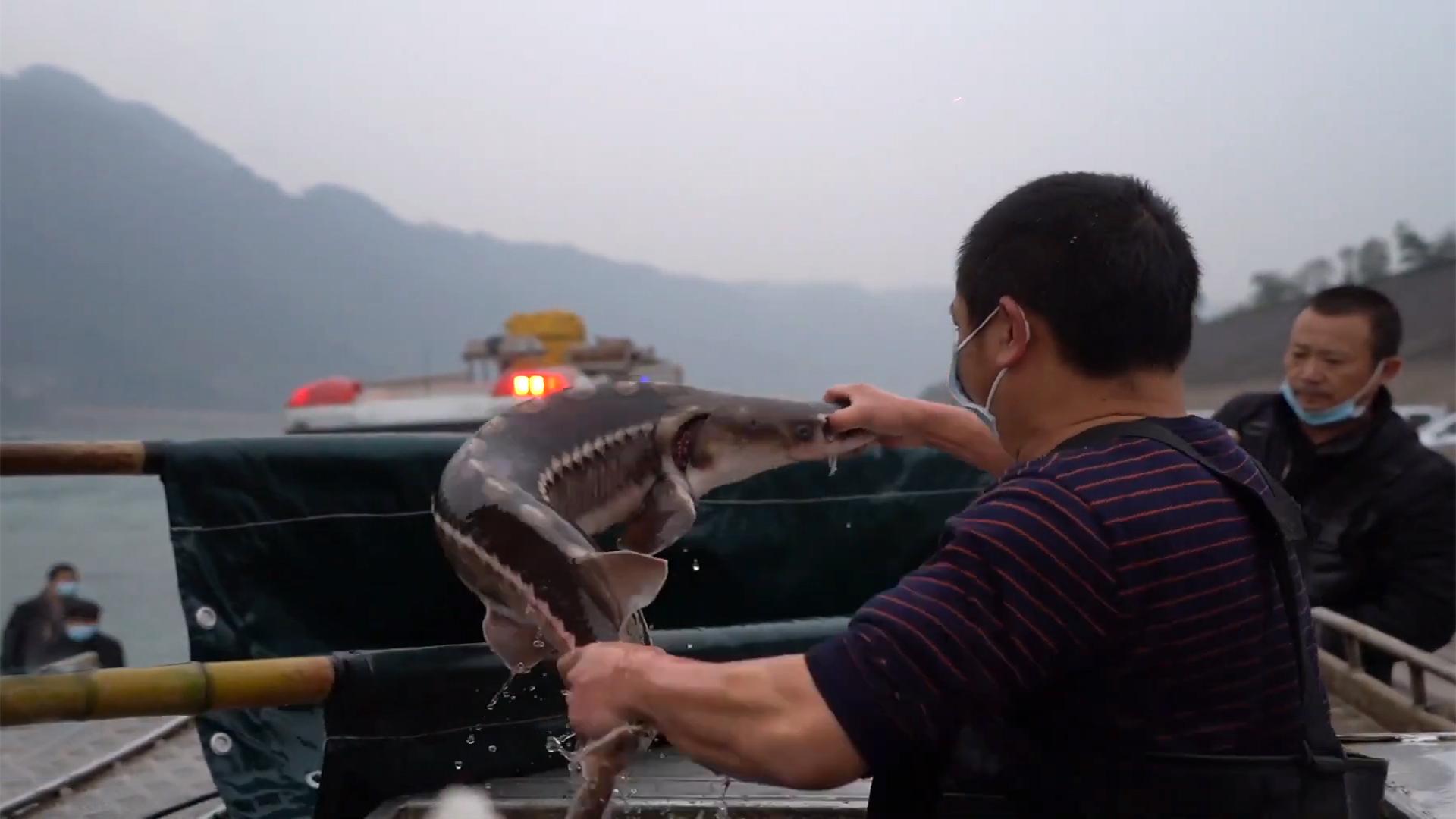 Phóng thích cá tầm cực kỳ nguy cấp trên sông Trường Giang
