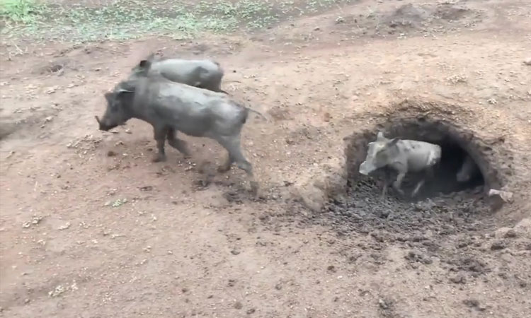 Hàng chục lợn rừng chui ra khỏi hang
