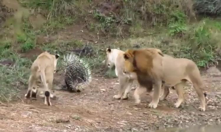 Nhím 'dạo chơi' giữa đàn sư tử