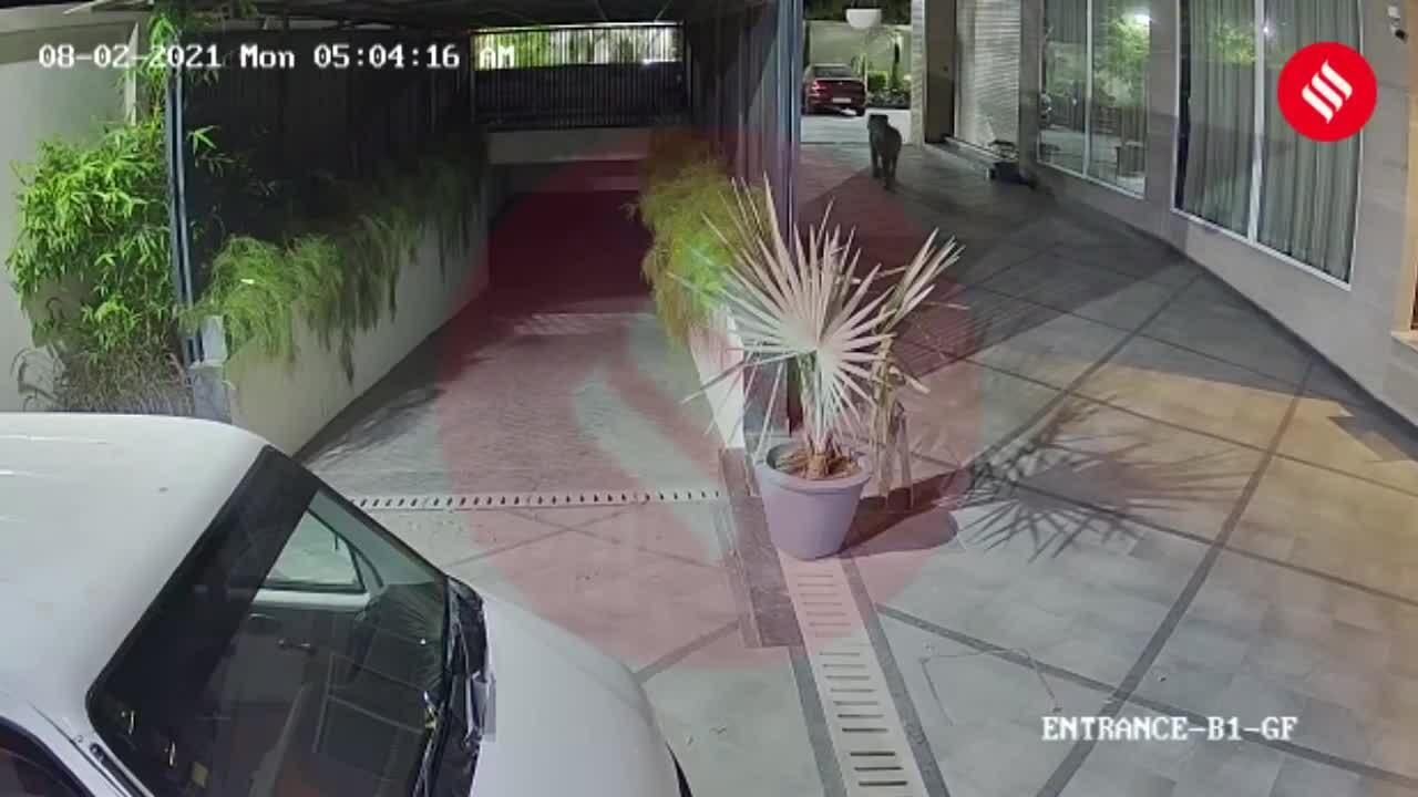 Sư tử lượn lờ quanh khách sạn