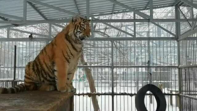Hổ phát ra tiếng kêu khác thường giống chim hót