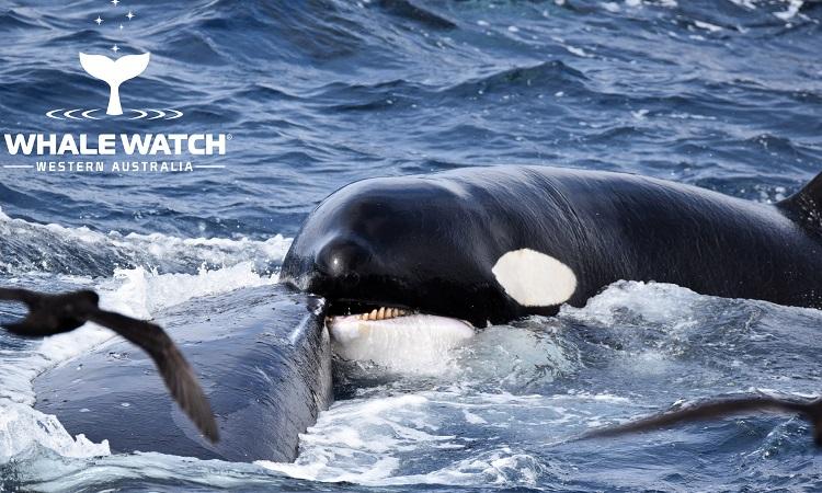 Cá voi lưng gù sống sót sau 4 giờ trốn cá voi sát thủ