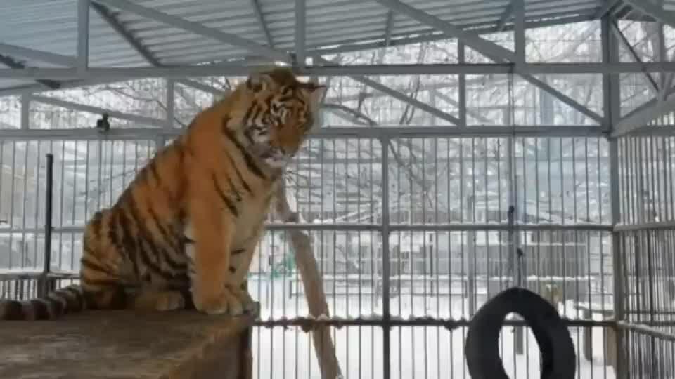 Hổ cất tiếng hót như chim