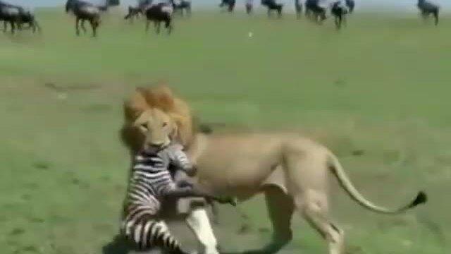 Ngựa vằn mẹ trơ mắt nhìn sư tử bắt con