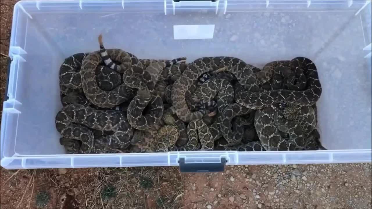 Ổ rắn đuôi chuông 81 con trốn trong nhà dân