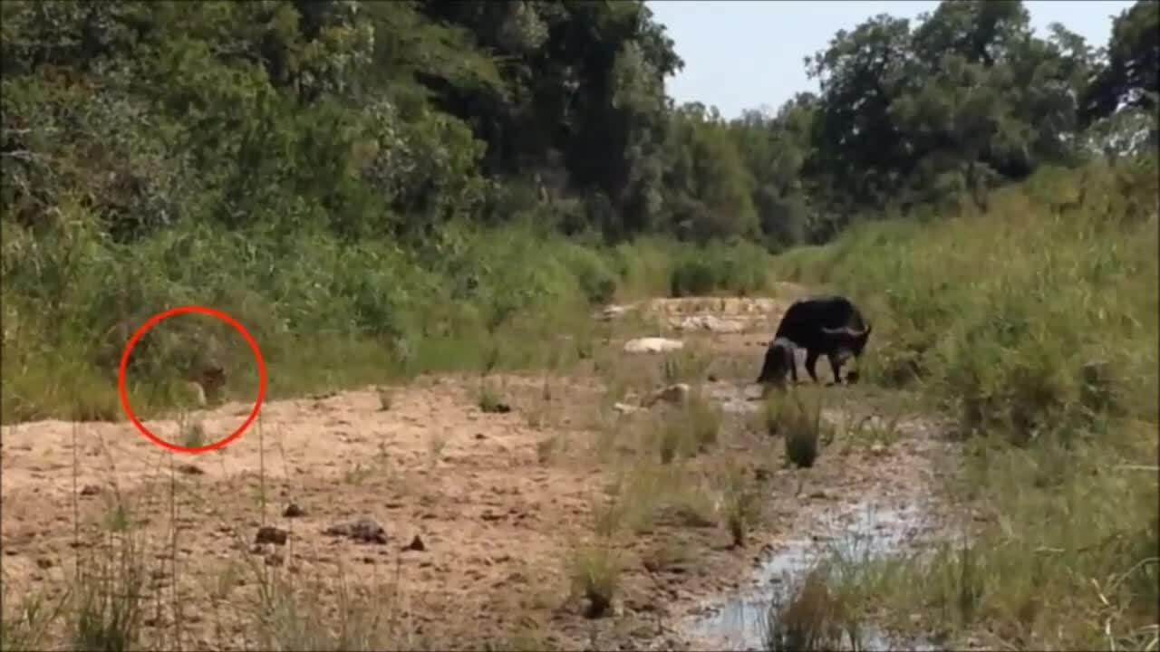 Trâu mẹ liên tiếp đánh đuổi báo hoa mai và sư tử