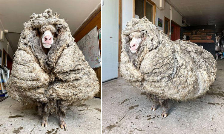 Con cừu có bộ lông nặng 35 kg