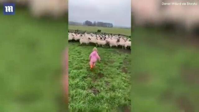 Em bé 2 tuổi lùa cả bầy cừu vào chuồng