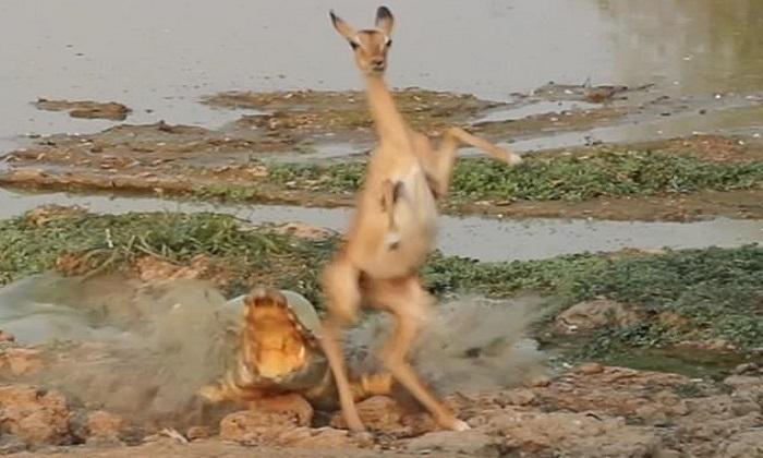 Cá sấu chồm lên mặt nước đớp linh dương
