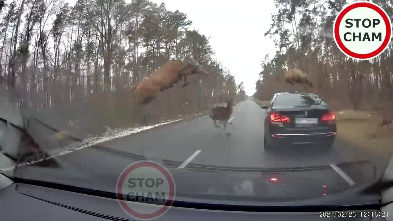 Đàn hươu phi qua đường, rơi xuống ôtô đang chạy