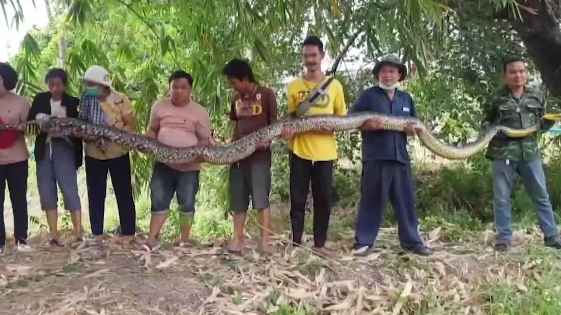 Bắt trăn nặng 100 kg làm tổ gần nhà dân