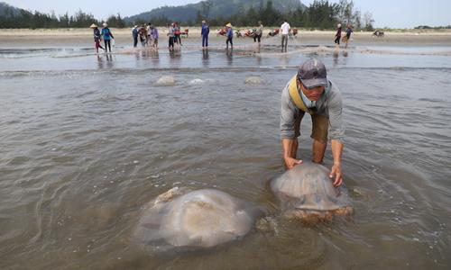 Ngư dân Hà Tĩnh đánh bắt, chế biến sứa biển