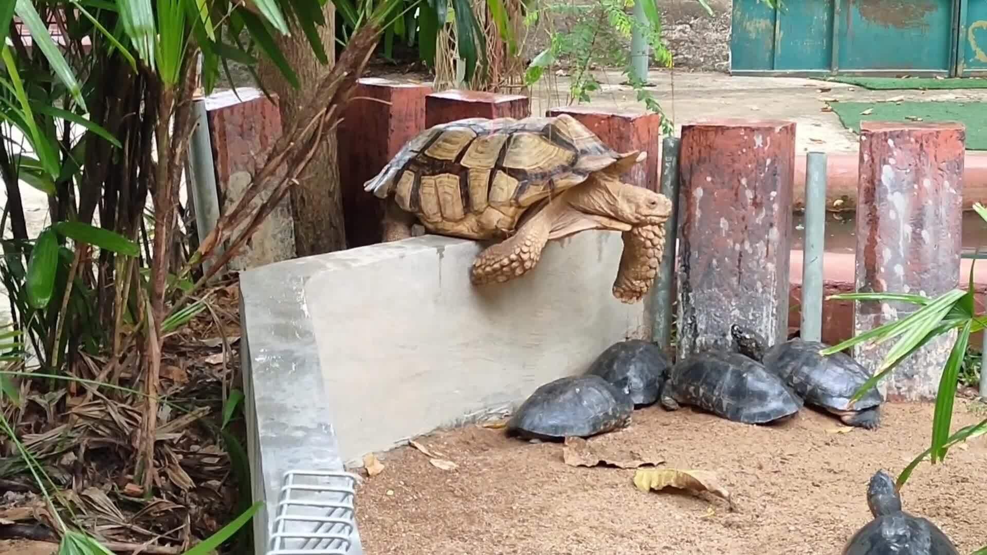 Rùa khổng lồ mắc kẹt trong lúc vượt tường vây