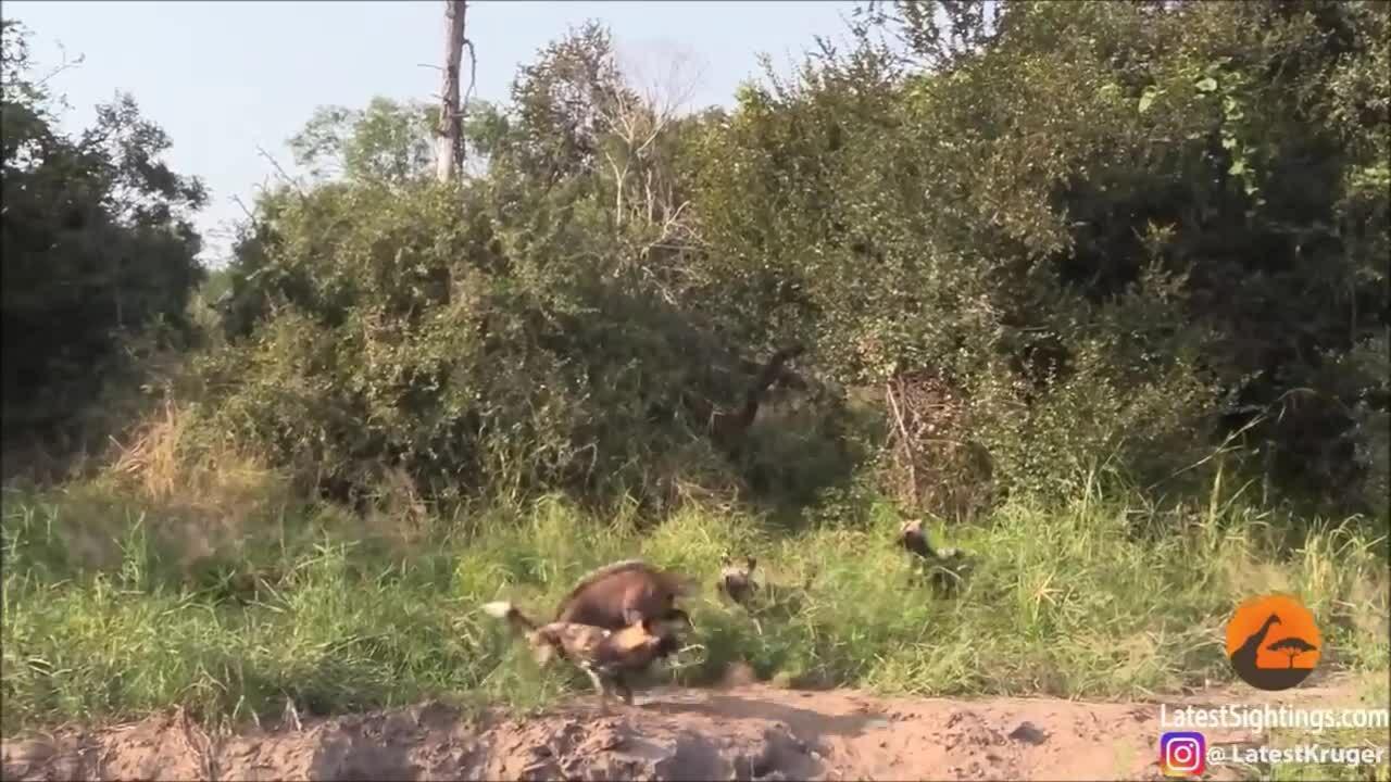 Linh dương một mình chống trả bầy chó hoang