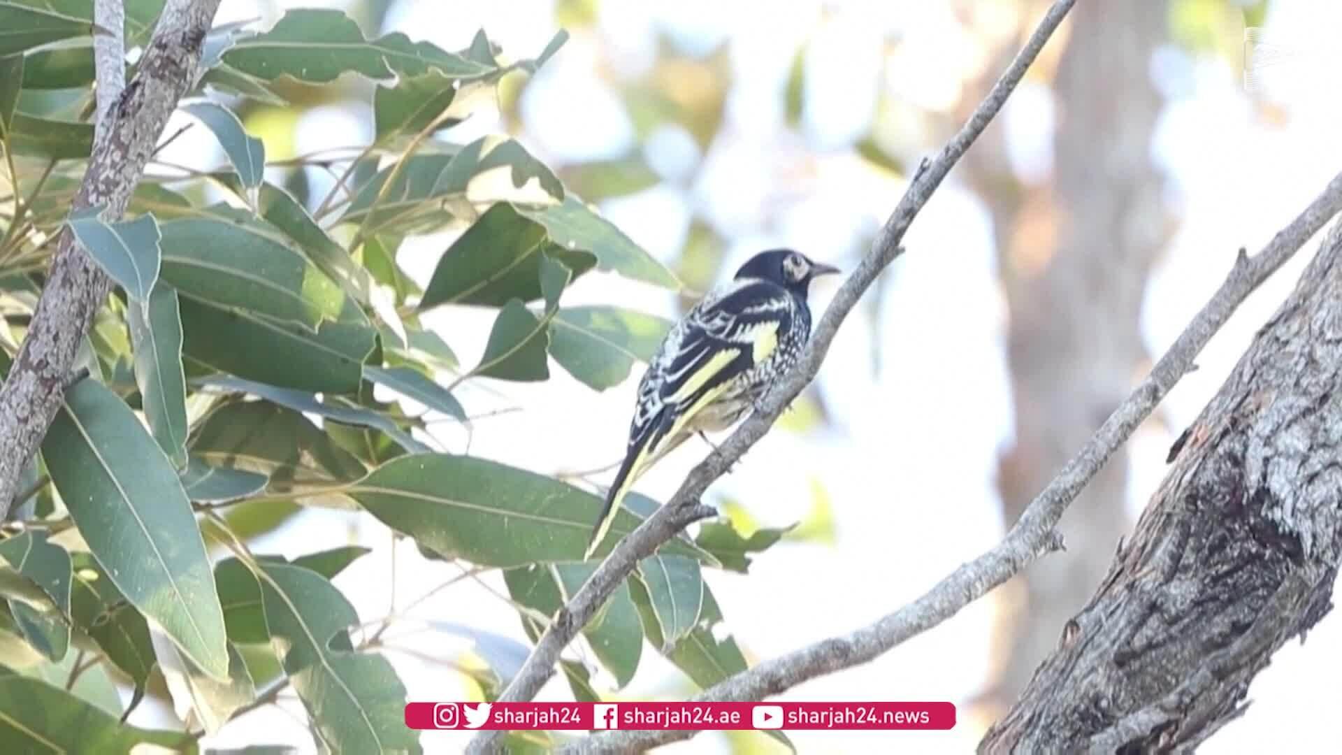 Chim quý hiếm mất dần tiếng hót