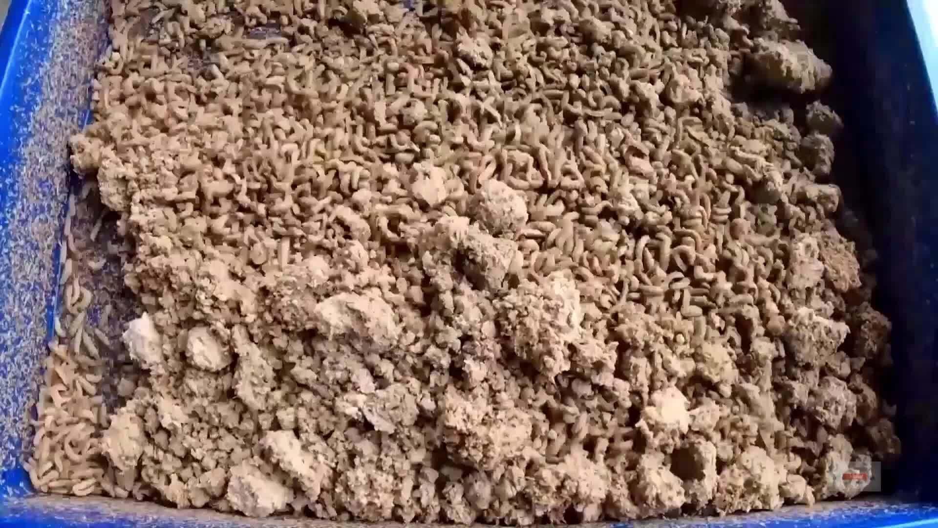 Ấu trùng biến chất thải thành vật liệu sinh học