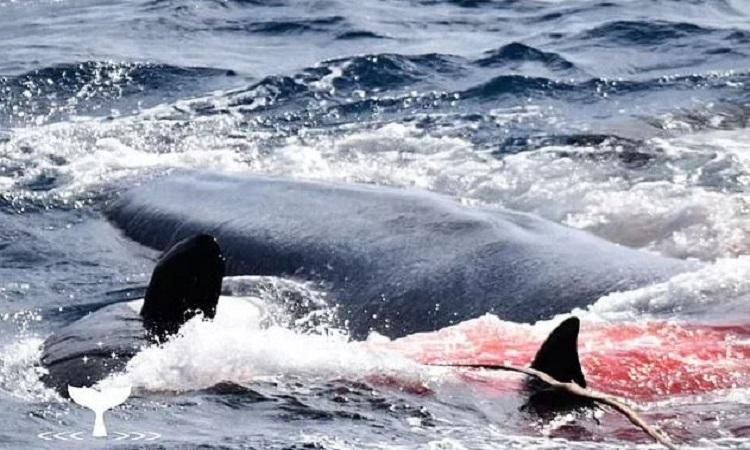 Cá voi xanh bị 75 con cá voi sát thủ xé xác