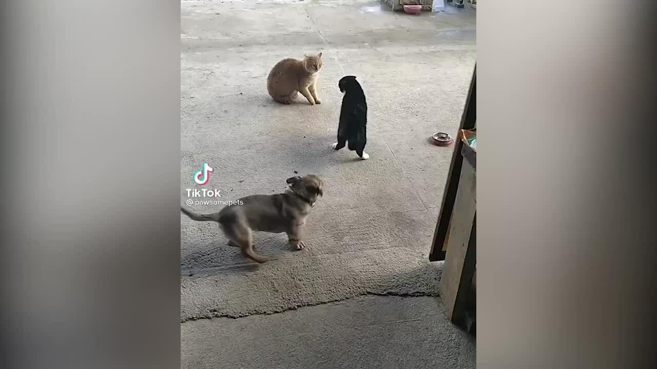 Chó phá đám khi mèo đánh nhau
