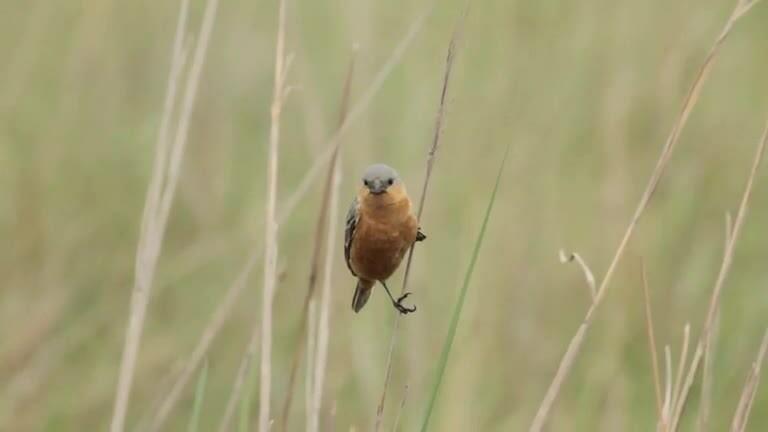 Loài chim nhỏ thách thức giả thiết tiến hóa