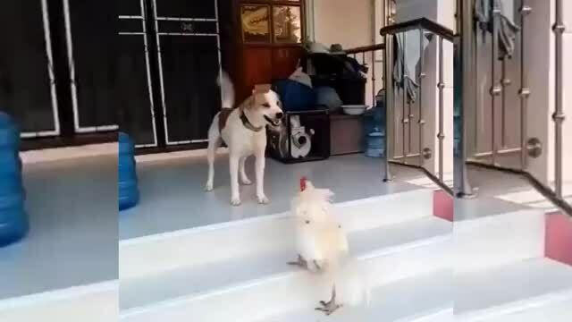 Chó bỏ chạy khi bị gà trống tấn công