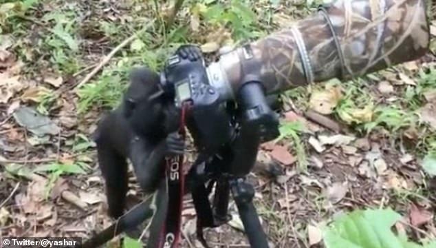 Khỉ trổ tài làm 'nhiếp ảnh gia'